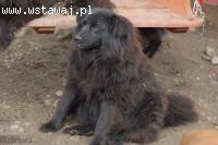 Halinka - kudłata sunia do rany przyłóż ADOPCJA