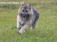 Brylant, wesoły, przyjazny pies w typie długowłosego owczark
