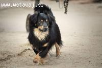 Koper, nieduży, długowłosy piękniś, wesoły i przyjazny psiac