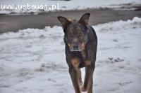 Fokus, pies ideał, proszę o dom, on cierpi w kojcu przechowa