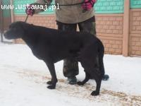 Towarzyski psiak w typie labradora do adopcji