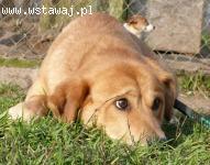 Ugryzek, młody psiak w typie LABRADORA szuka domu!