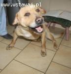 Rudy piesek w typie labradora szuka domu