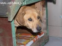 Pad - łagodny, spokojny labrador szuka domu