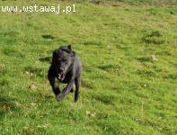 Pako w typie rasy Labrador czeka w schronisku na dom