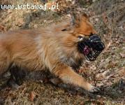 Piękny Alf, stróżujący, zakochany w opiekunach, aktywny!