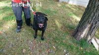 Kotlet, pies w typie labradora szuka kochającego domku.
