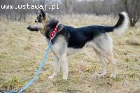 Owczarkowaty Czaki, cudowny, wesoły pies!