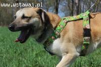 Agar- młody, większy psiak szuka domu