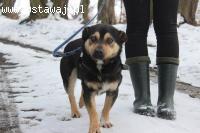 Monte- młody, mały psiak z krótkim ogonkiem czeka na dom