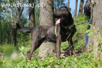 Clifford- ok. roczny, piękny molosowaty, duży pies do adopcj