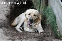 Spot - szukamy domu dla labradora