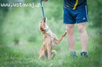 Lola, psie dziecko, delikatna, wspaniała sunia, rudy lisek d