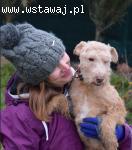 Willi, przyjazny LAKELAND TERRIER mix adopcja