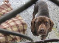 DYZIO - czekoladowy psiak w typie laba szuka domu