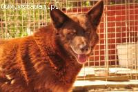 Rudas - piękny kasztanowy pies szuka domu