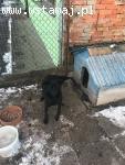 Amber - mix labradora od dwóch lat w punkcie przetrzymań - a