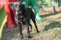 Czaruś - czarny, piękny w typie labradora szuka domu
