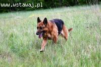 Astor, owczarek niemiecki - piękny i wrażliwy ADOPCJA