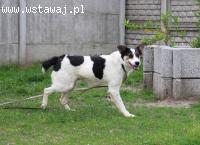 Maniu - wyjątkowy, piękny pies szuka domu