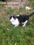 Basiulka, piękna TRICOLORKA, proludzka koteczka do pokochani