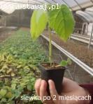 NOWOŚĆ – drzewa szybko rosnące - OXYTREE (Paulownia Clon In